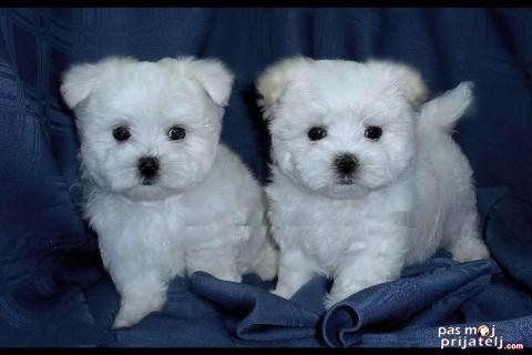 Maltezer štenci-treninzi i zdravlje