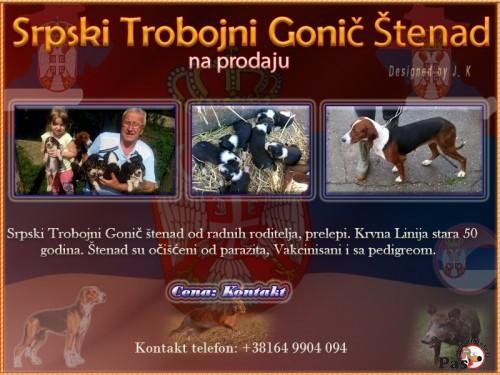 Srpski gonič (Balkanski gonič)