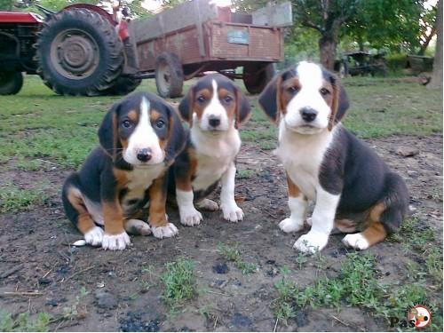 pasa, Nabavka pasa, Prodaja pasa, Udomljavanje, Parenja, Rase pasa