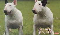 Bulterijer - English Bull terrier fci standard