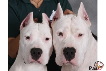 DOGO ARGENTINO - King of the pampas 3